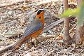 Cossypha heuglini, Livingstone, Zambia.jpg