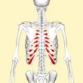 Costal cartilages back2.png