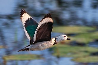 Cotton pygmy goose - Male in flight, the white band on the dark wing is broad. The green gloss on the upper wing coverts is distinctive.