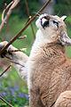 Cougar Looking Up (17858559401).jpg