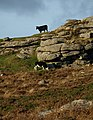 Cow on rock - geograph.org.uk - 1015737.jpg