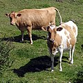 Cows, Tredinney - geograph.org.uk - 321664.jpg