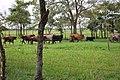 CowsFieldTabasco2.JPG