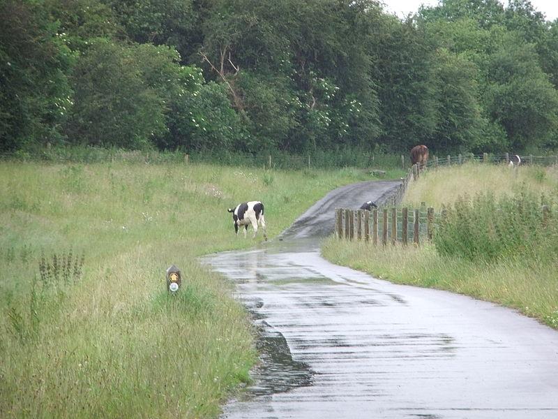 Cows on a public footpath and cycleway, near Hawarden Bridge, Shotton, Flintshire, Wales.