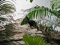 Crax globulosa -Houston Zoo, Texas, USA -female-8a (2).jpg
