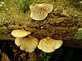 Crepidotus calolepis 280170.jpg