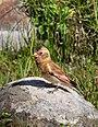 Crimson-winged Finch (Rhodopechys sanguineus) (34320774834).jpg