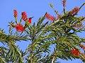Crimson Sunbird - Aethopyga siparaja - P1030361.jpg