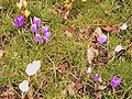 Crocusses in park 3.jpg