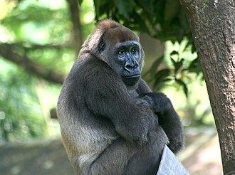 Cross River gorilla - Cross River gorilla