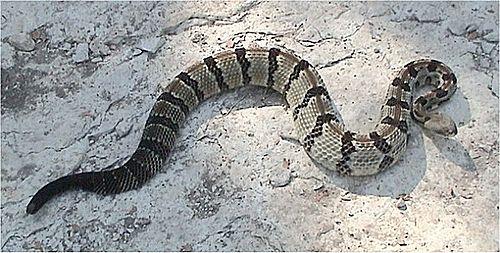 500px crotalus horridus atricaudatus 1