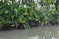 Crotons by the riverside (9278036720).jpg