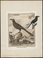 Crotophaga ani - 1700-1880 - Print - Iconographia Zoologica - Special Collections University of Amsterdam - UBA01 IZ18800137.tif