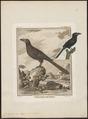 Crotophaga ani - 1700-1880 - Print - Iconographia Zoologica - Special Collections University of Amsterdam - UBA01 IZ18800137.tif