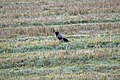Crow alone in field.jpg
