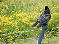 Crow and Dandelion.JPG