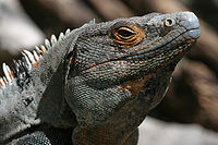 Ctenosaura male close-up.jpg
