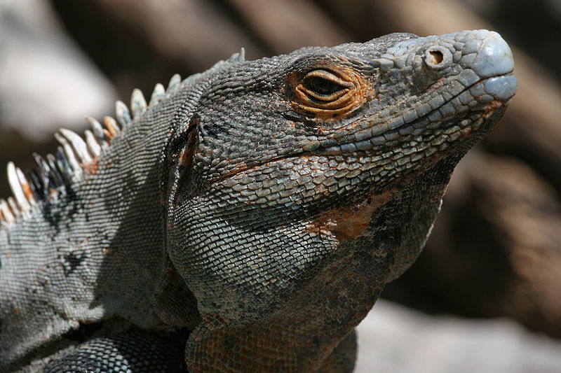 File:Ctenosaura male close-up.jpg