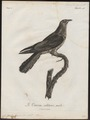 Cuculus capensis - 1796-1808 - Print - Iconographia Zoologica - Special Collections University of Amsterdam - UBA01 IZ18800229.tif