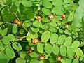 Cup and Saucer Plant Holmskioldia sanguinea by Raju Kasambe DSCF9933 (1) 08.jpg
