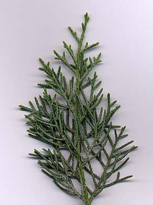 Cupressus arizonica - Cupressus arizonica var. glabra (Smooth Arizona Cypress) foliage