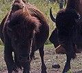 Custer State Park (3921427153).jpg