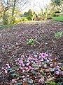 Cyclamen, Rock Garden, Wisley - geograph.org.uk - 322297.jpg