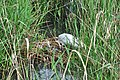 Cygnus olor (Küken) - Obersee-Holzbrücke-Rapperswil 2011-05-15 16-51-38.JPG
