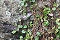 Cymbalaria muralis 102195532.jpg