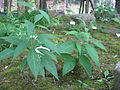 Cynanchum Katoi1.jpg
