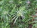 Cyperus alternifolius - Umbrella Palm at Wayanad (2).jpg