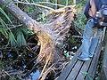 Cypress Roots Everglades.jpg