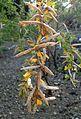 Cytisus ruthenicus kz1.jpg