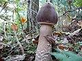 Czernidłak pstry - panoramio (1).jpg