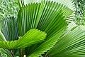 D85 9494 Plant of Thailand.jpg