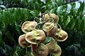 DO-sapindaceae-02.jpg