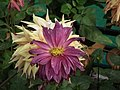 Dahlia from lalbagh 1944.JPG