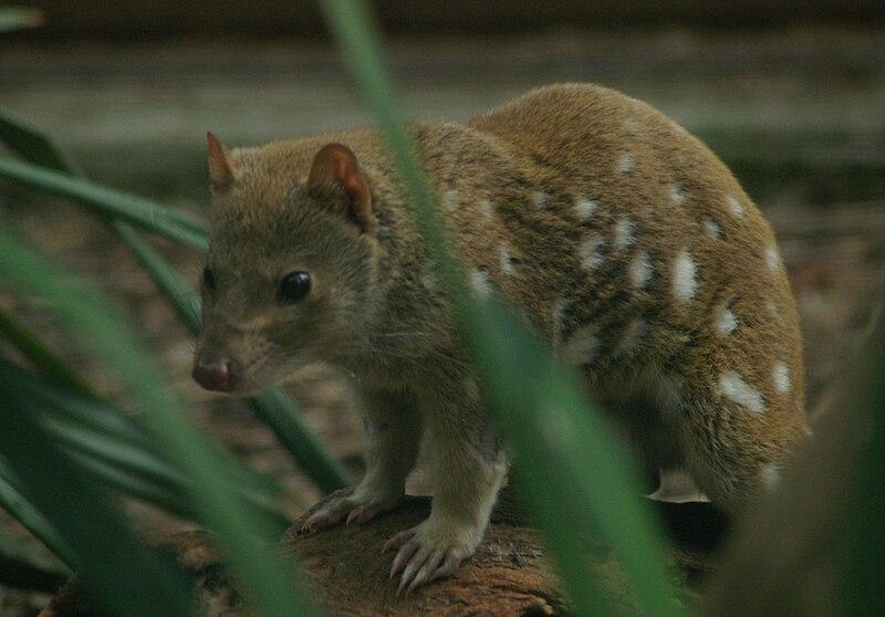 Dasyurus maculatus -Healesville Sanctuary, Australia-8a