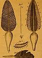 De quibusdam animalibus marinis, eorumque proprietatibus, orbi litterario vel nondum vel minus notis, liber - cum nonnullis tabulis aeri incisis, ab auctore super vivis animalibus delineatis (1761) (20867305571).jpg