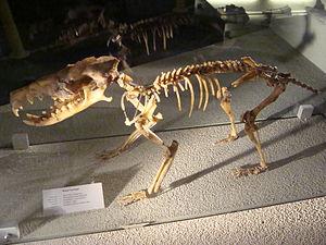 Deinogalerix - Skeleton in Naturalis Biodiversity Center