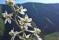 Delphinium xantholeucum 5.jpg