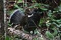 Dendragapus fuliginosus 5058.JPG