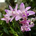 Dendrobium kingianum - Flickr - treegrow.jpg