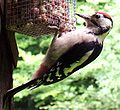 Dendrocopos major -bird feeder-5.jpg