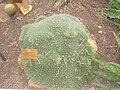 Deuterocohnia brevifolia - Abromeitiella brevifolia - NBGB - IMG 4353.JPG