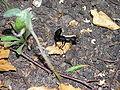 Devil's Coach Horse Beetle.JPG