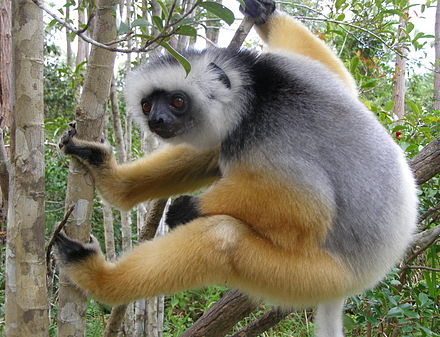 Diademed sifaka, a lemur that is a vertical clinger and leaper Diademed ready to push off.jpg