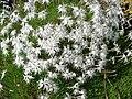 Dianthus arenarius 2.JPG