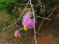 Dichrostachys cinerea - flowers.JPG