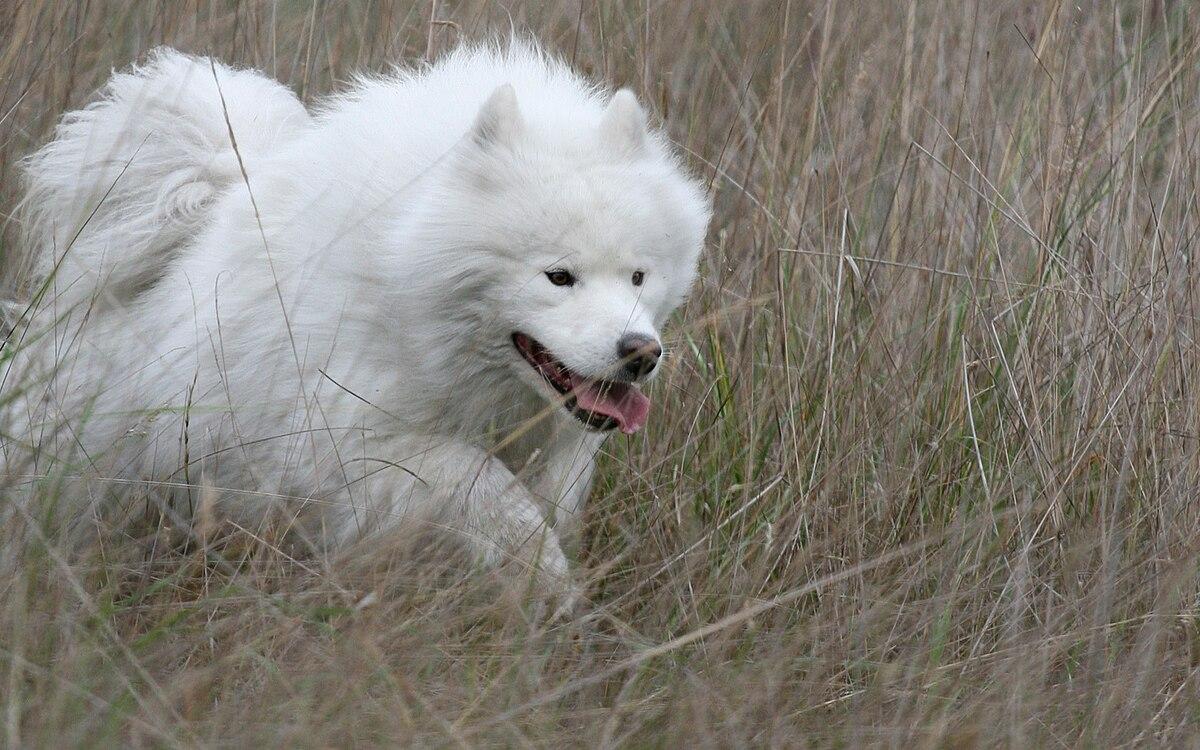 Spetshund – Wikipedia